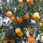 Cây cam v2 có đậu quả tại Cao Phong