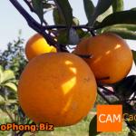 Quả cam Cao Phong đầy dinh dưỡng