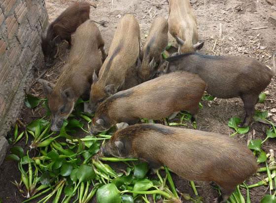 Chăm sóc lợn mán đẻ