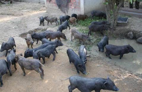 Bệnh phù thũng ở lợn mán con