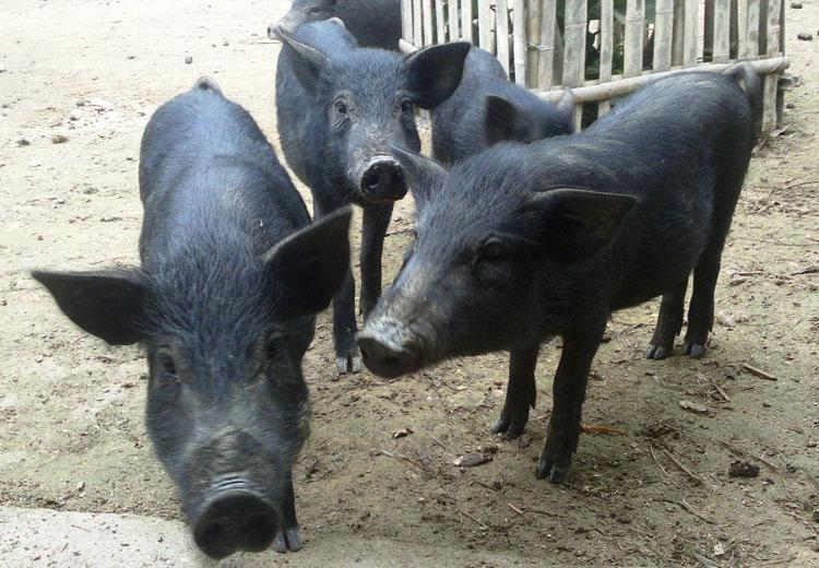 Lợn mán Hòa Bình