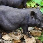 Cách điều trị bệnh tiêu chảy trên lợn mán con