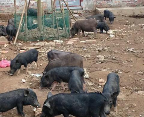 Thuốc sát trùng và vấn đề phòng bệnh tiêu chảy cho lợn mán con