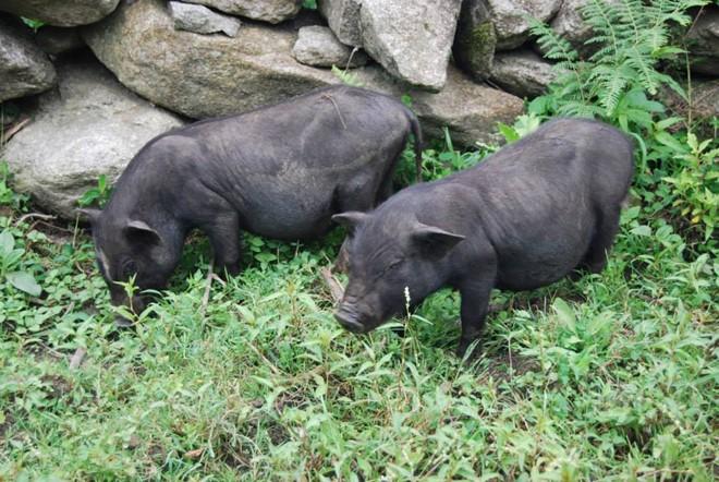 lợn mán chửa