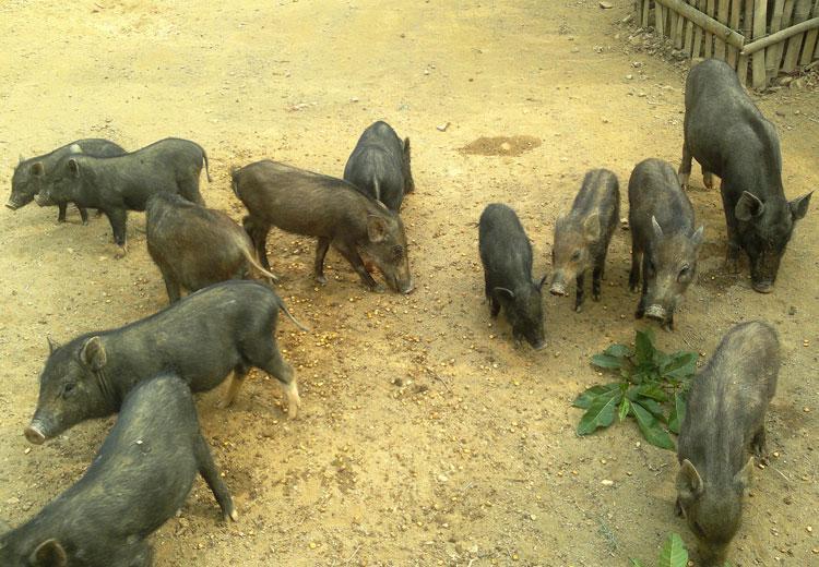 Hướng dẫn phòng bệnh dịch tả lợn mán
