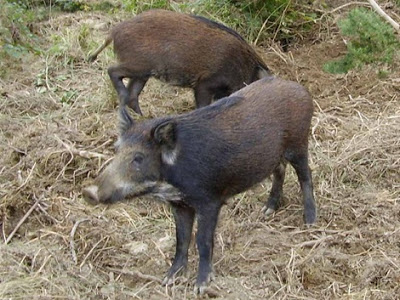 Thức ăn bổ sung cho lợn mán từ chế phẩm vi sinh