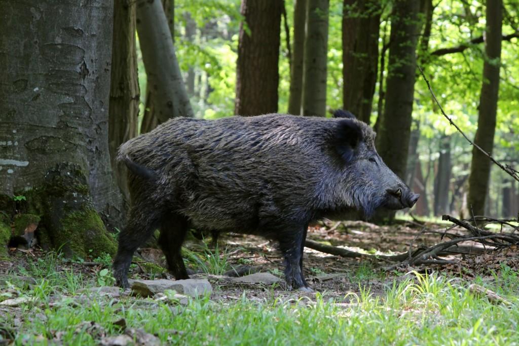 Tiềm năng của các axit hữu cơ trong khẩu phần thức ăn cho lợn mán