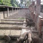 Quy cách chuồng nuôi lợn mán cần tuân thủ