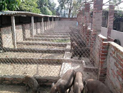 Giải đáp thắc mắc về chuồng trại lợn mán