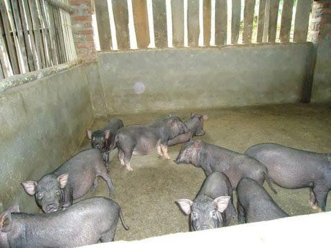 Cách phát hiện tụ huyết trùng trên lợn mán