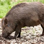 nguyên nhân lợn mán con bị tiêu chảy