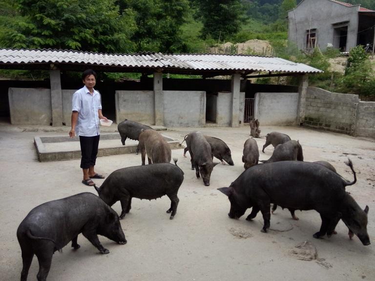 Hướng dẫn làm chuồng nuôi lợn mán nái sinh sản