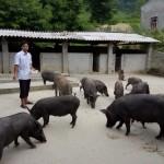khắc phục tình trạng chậm động đực của lợn mán nái sau khi cai sữa