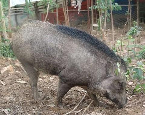 hướng dẫn phòng và điều trị bênh ghẻ ở lợn mán