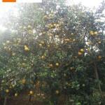 Vườn cam lòng vàng chín vàng trang trai của bà Sen – Cao Phong - Hòa Bình