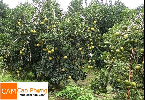 vườn cam long vàng cao phong