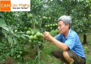 Vườn cam Cao Phong bà Sen