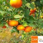 Cam Cao Phong đạt sản lượng tối đa là 3 tạ/cây