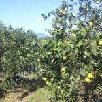 vườn cam lòng vàng mới cho thu hoạch