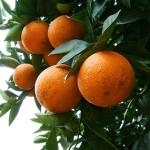 Vườn cam Xã Đoài Cao Phong