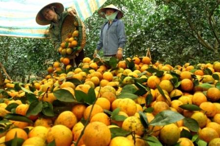 Nguồn cung cấp Cam Cao Phong dồi dào