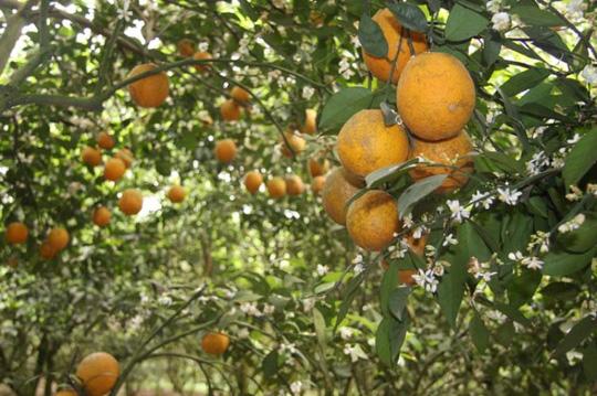 Vườn cam V2 chín vàng