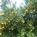 Cây cam lòng vàng trĩu quả