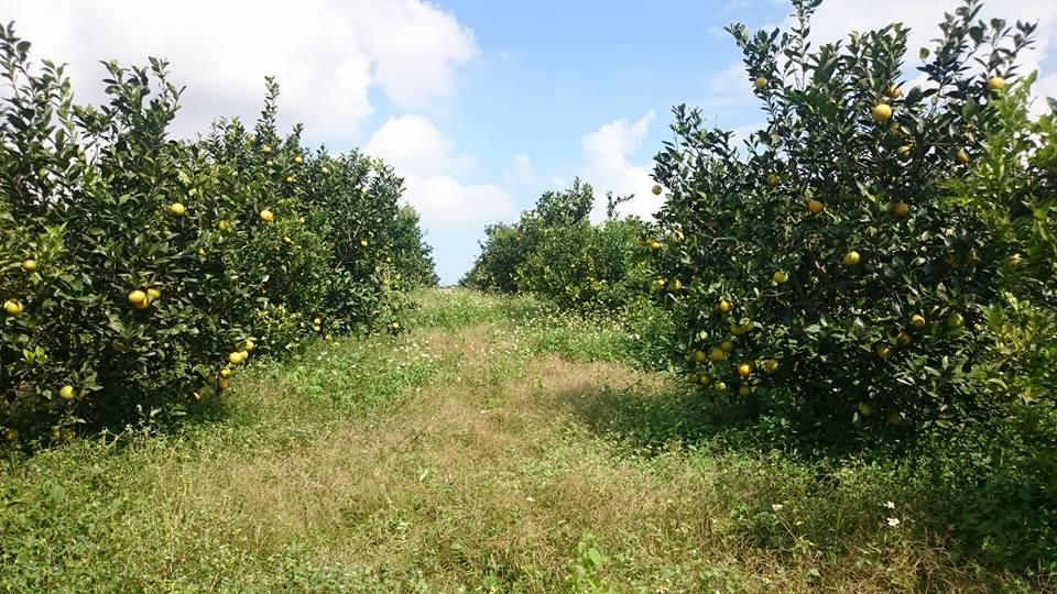 những vườn cam mới cho thu hoạch vụ đầu