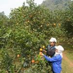vườn cam V2 trĩu quả tại thị trấn Cao Phong