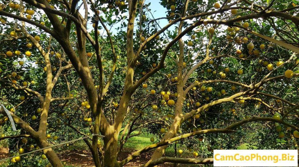 vườn cam lòng vàng
