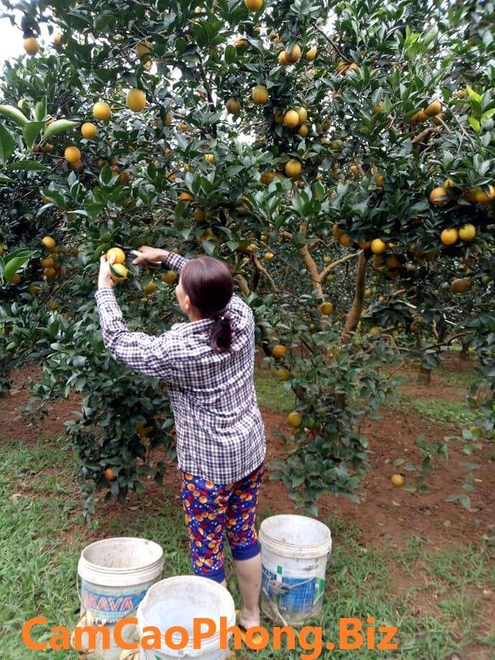 Những quả cam vàng ươm đang được cắt xuống